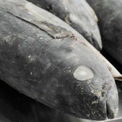 Quartered BC Tuna Loin